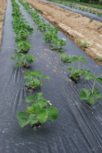 Strawberry Plants on Plastic