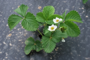 Strawberry Plant with Blossoms
