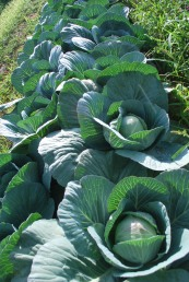 Cabbage on Plant