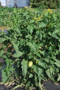 Plum Tomato Plants