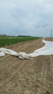 Removing cover from sweet corn