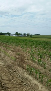sweet corn field
