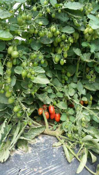 Vine-ripened salad tomatoes